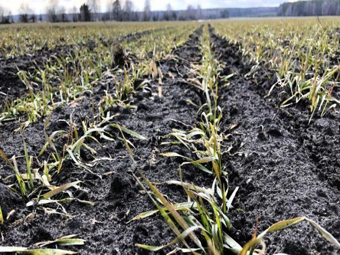 Ульяновские аграрии теряют озимые из-за отсутствия осадков и высоких температур
