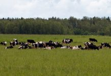Молочная ферма под Севастополем под угрозой закрытия
