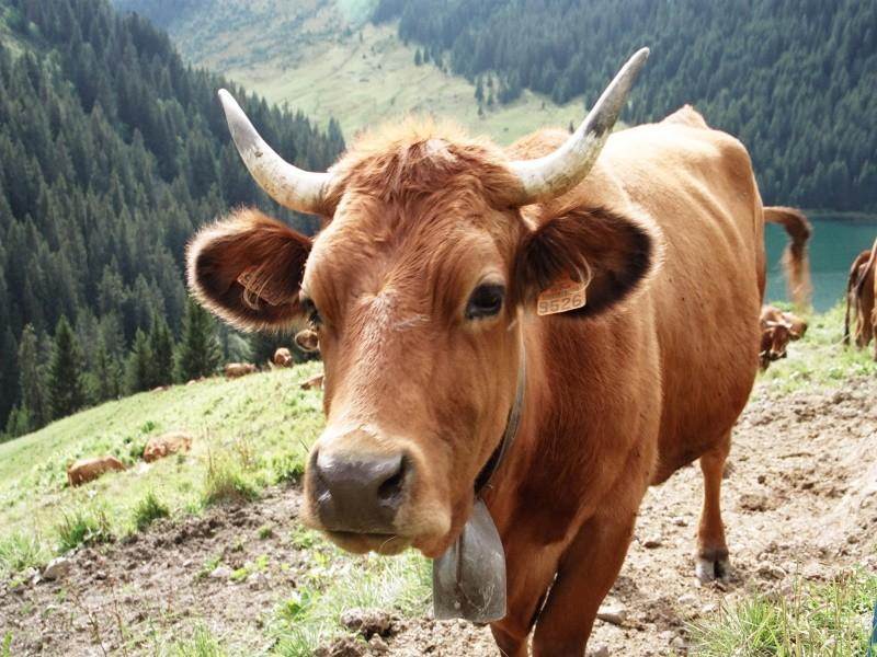Поголовье крупного рогатого скота в России продолжает сокращаться