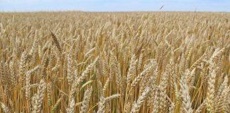 Казахстанские ученые вывели новый сорт пшеницы