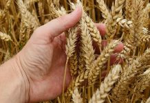 Самарский ученый удостоен золотой медали за выведение 17 сортов пшеницы