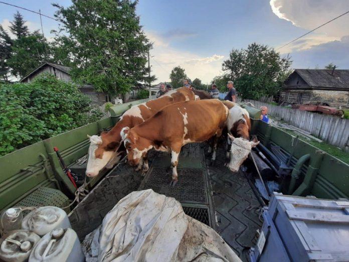Региональный минсельхоз и МЧС спасли коров от наводнения