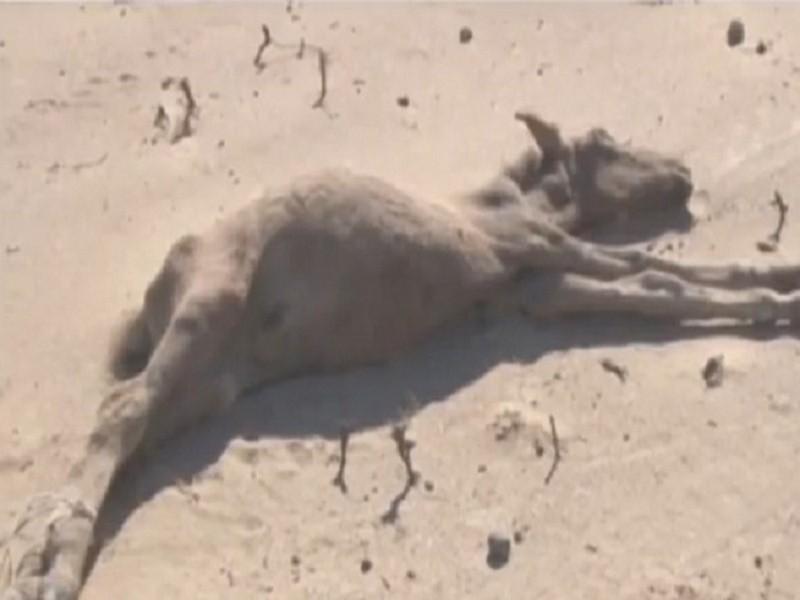 Из-за массового падежа скота в Мангистауской области могут ввести режим ЧП