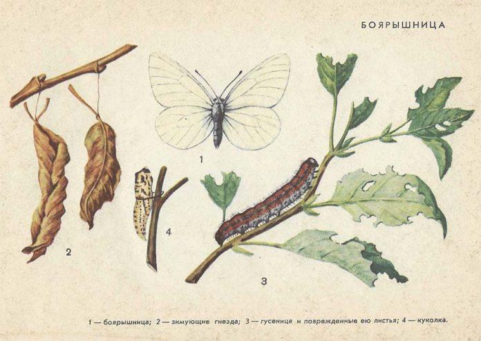 Боярышница - Вредители плодовых культур