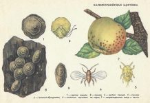 Калифорнийская щитовка - Вредители плодовых культур