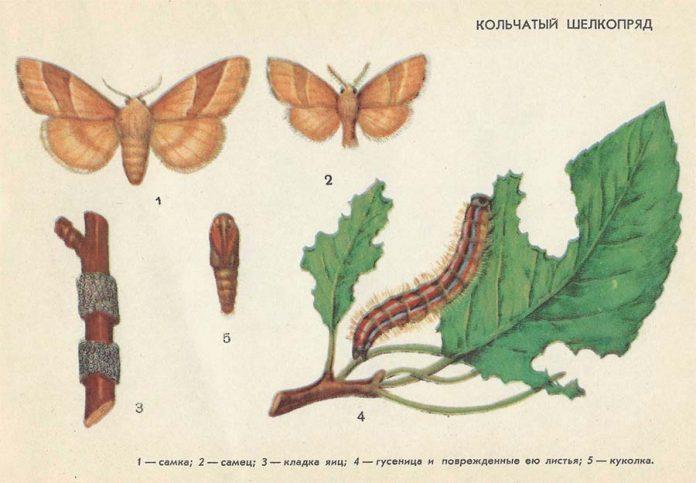 Кольчатый шелкопряд - Вредители плодовых культур