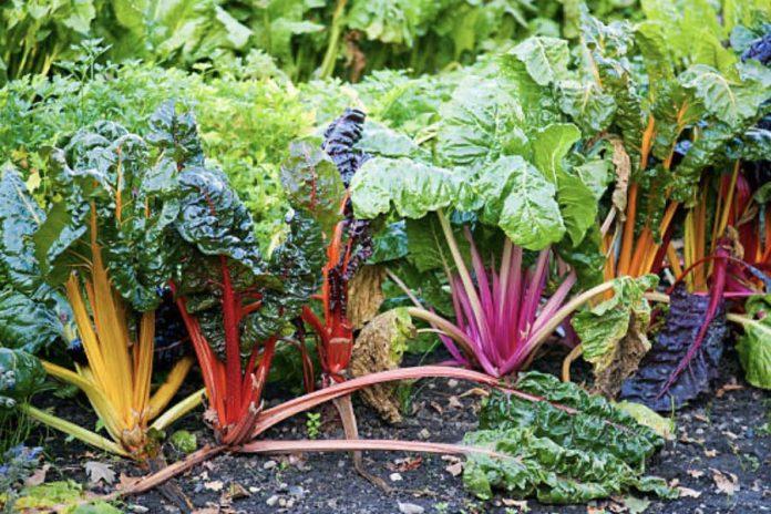 Мангольд или листовая свекла основные особенности овощных культур