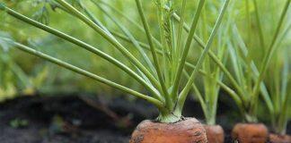 Морковь основные особенности овощных культур