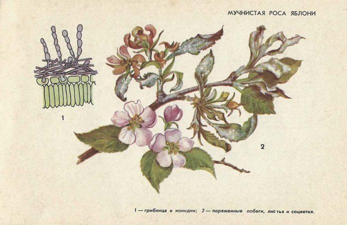 Мучнистая роса яблони - Болезни плодовых культур