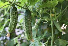 Огурцы основные особенности овощных культур
