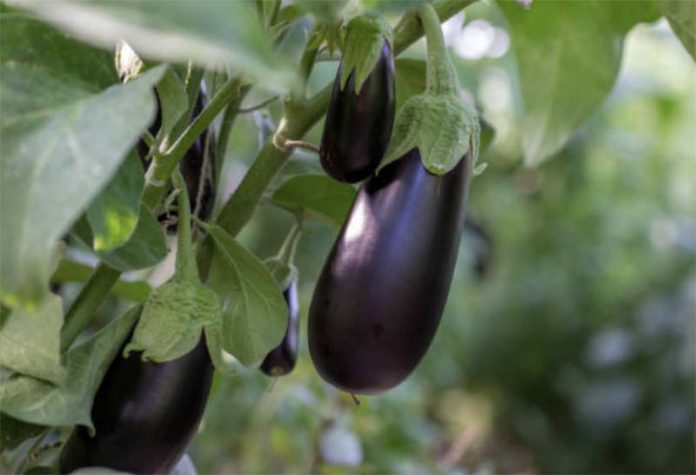 Основные особенности овощных культур - Баклажаны