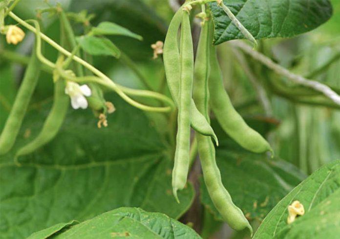 Основные особенности овощных культур Бобы