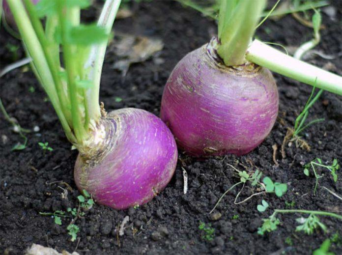 Основные особенности овощных культур - Брюква