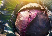 Основные особенности овощных культур - Капуста краснокочанная