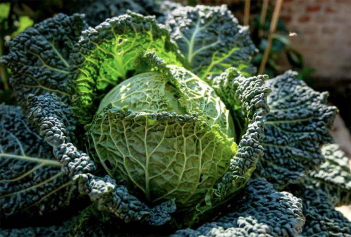 Основные особенности овощных культур - Капуста савойская
