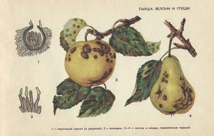 Парша яблони - Болезни плодовых культур
