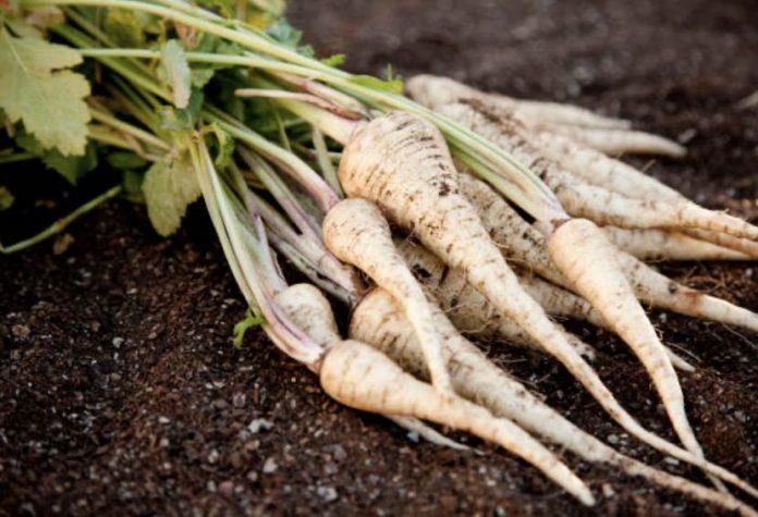 Пастернак основные особенности овощных культур