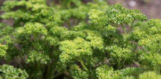 Петрушка основные особенности овощных культур