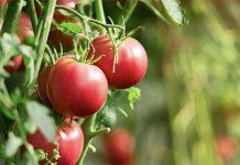 Помидоры основные особенности овощных культур