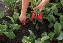 Редис основные особенности овощных культур