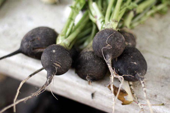 Редька основные особенности овощных культур