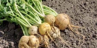 Репа основные особенности овощных культур