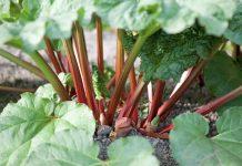 Ревень основные особенности овощных культур