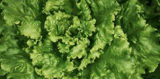 Салат основные особенности овощных культур