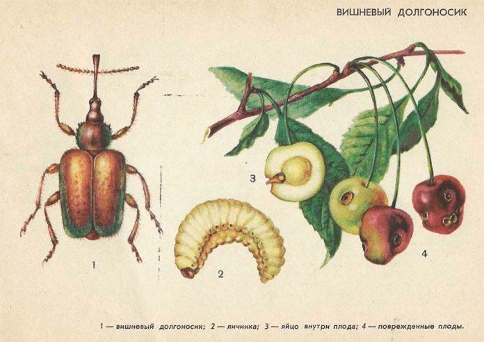 Вишневый долгоносик Вредители плодовых культур