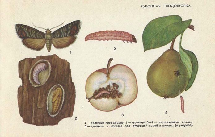 Яблонная плодожорка - Вредители плодовых культур