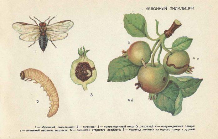 Яблонный пилильщик - Вредители плодовых культур