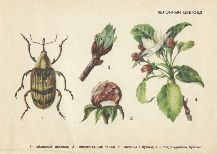 Яблонный цветоед — Вредители плодовых культур
