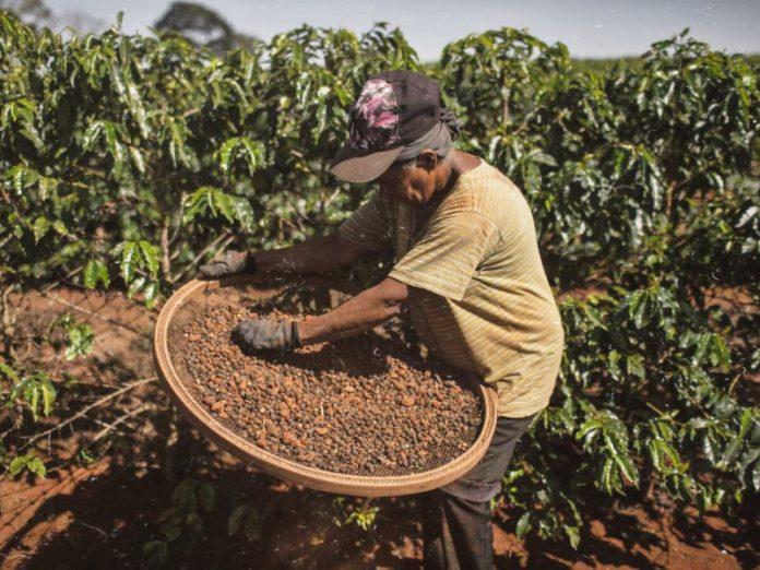 В Бразилии из-за аномальной погоды фермеры потеряли урожай кофе