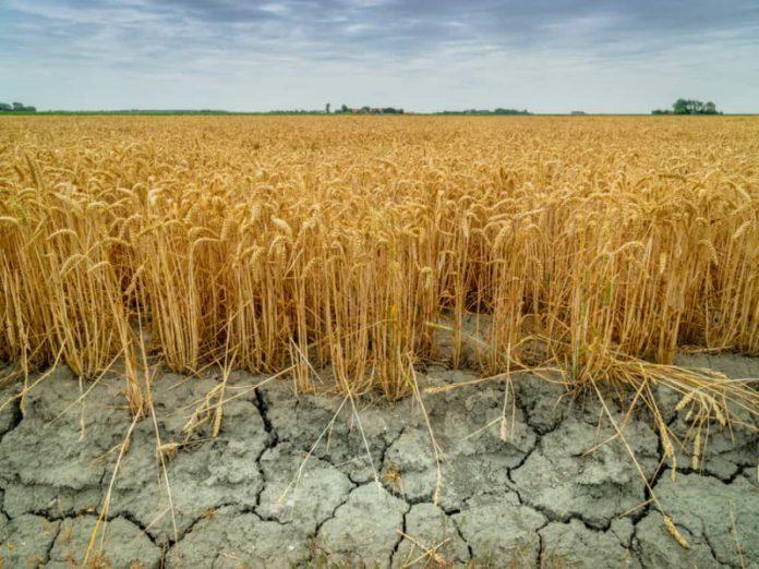 Калькулятор потерь: аграрии считают убытки от засухи