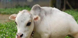 В Бангладеш живет самая маленькая в мире корова