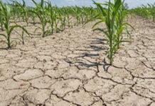 Жара и засуха в Приморском привели к потере урожая овощей