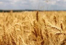 Данные Минсельхоза и Росстата по посевам пшеницы расходятся в один млн га