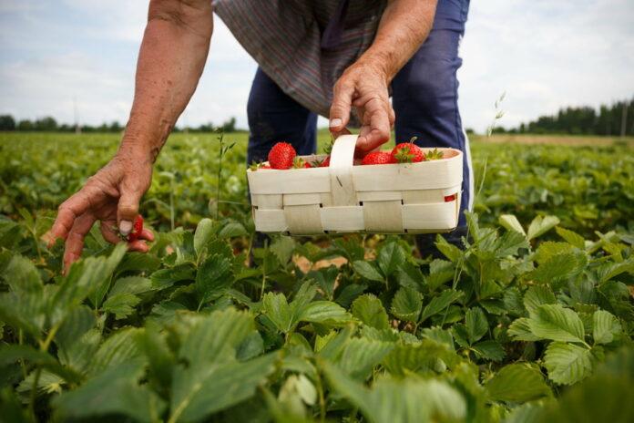 В России некому собирать урожай ягод