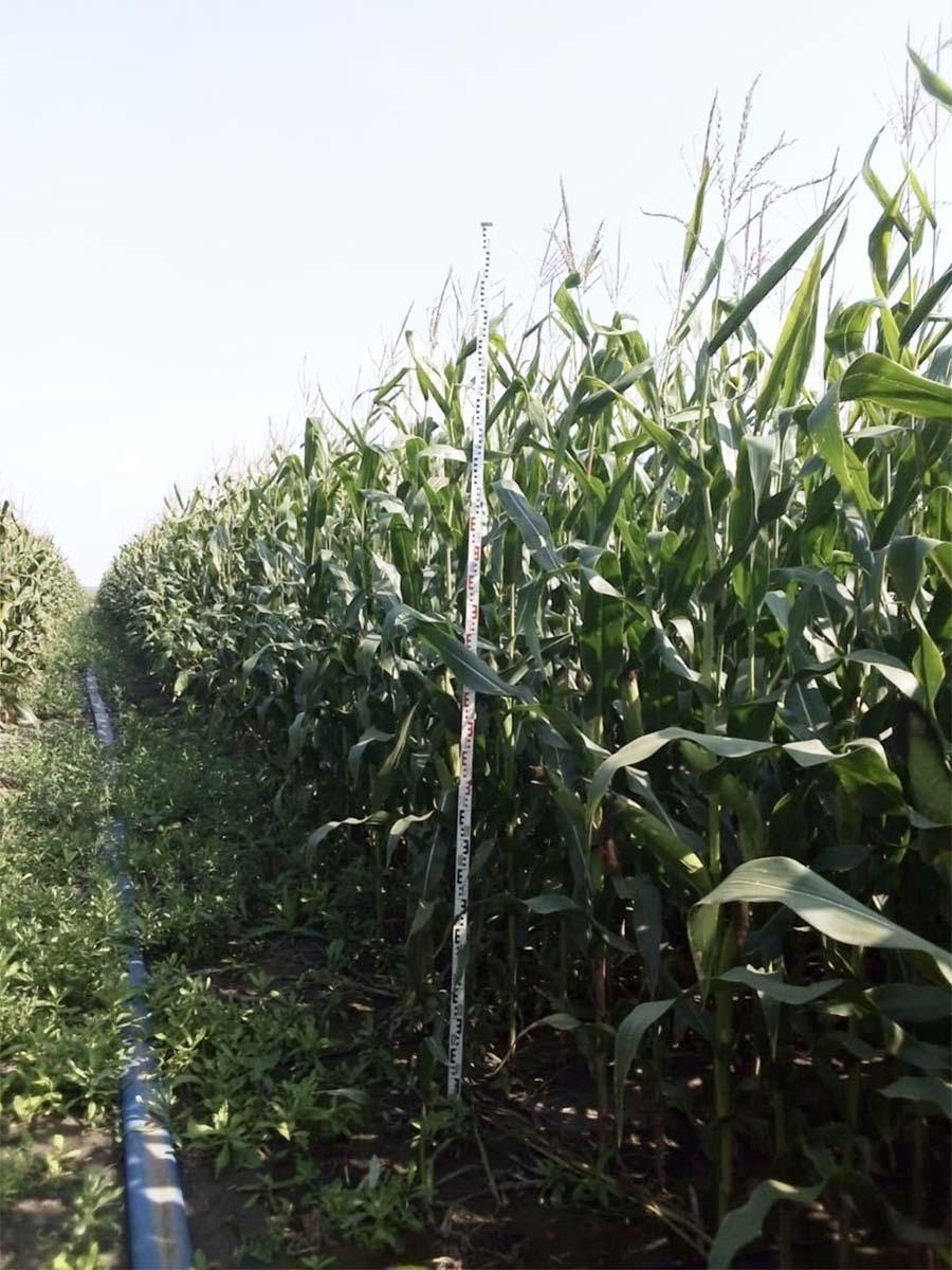 Капельный полив кукурузы-min