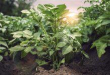На Сахалине представили эффективную схему защиты картофеля и овощей от «Щёлково Агрохим»