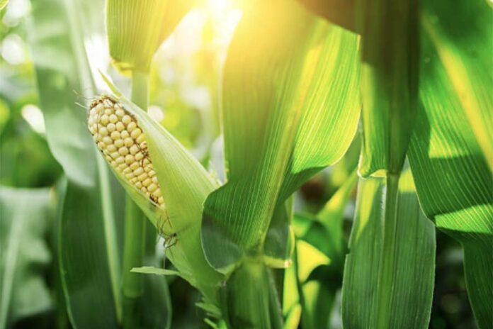 Топ болезней кукурузы - Спасти дар бога Кукулькан
