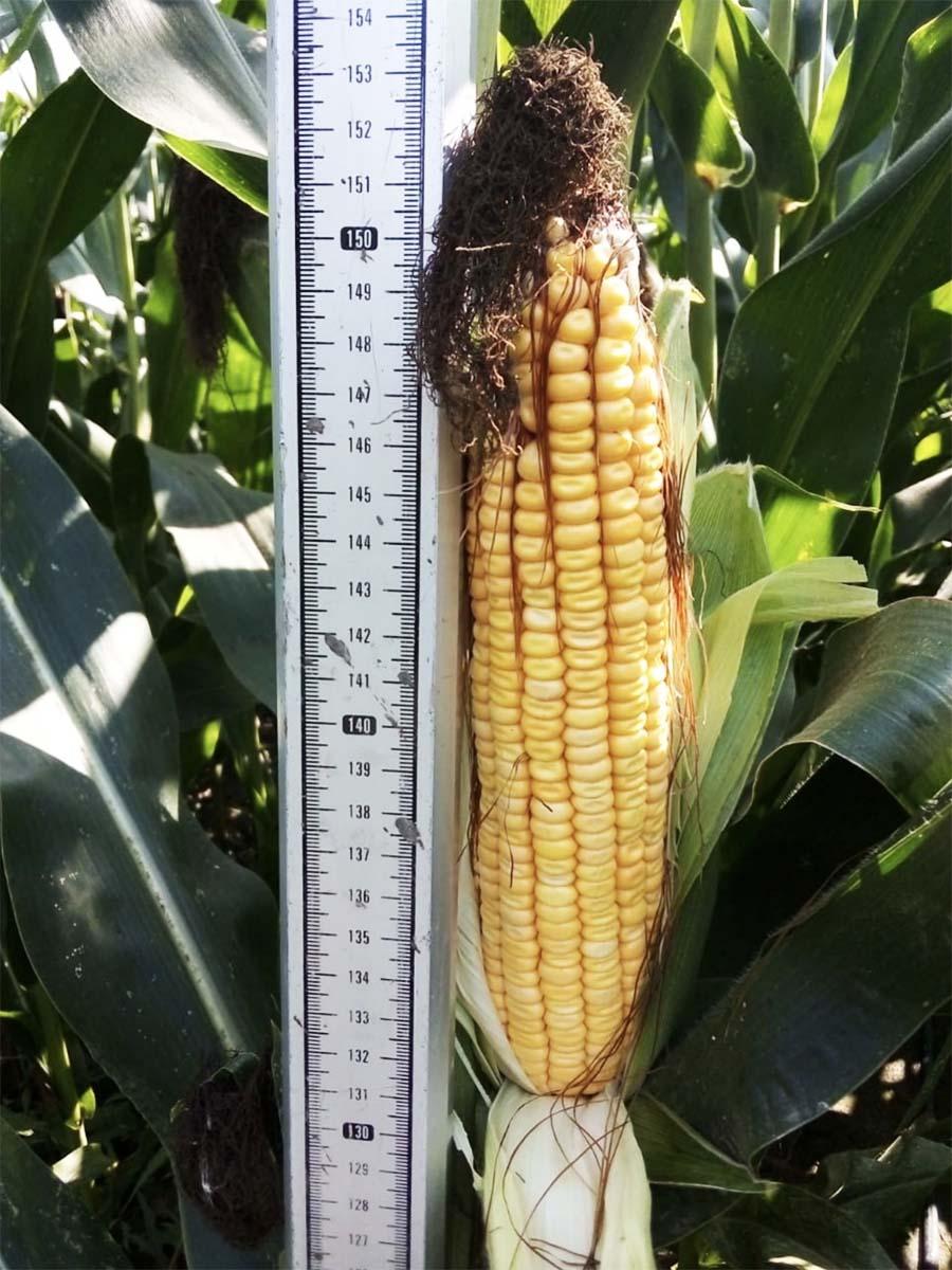 Выращивание кукурузы в РФ-min