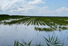 Ливни серьезно повредили рисовые поля на Кубани