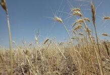 Засуха стала причиной снижения урожайности зерновых в Свердловской области