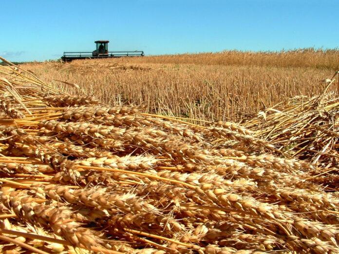 Минсельхоз США резко снизил прогнозы по урожаю российской пшеницы в 2021 году