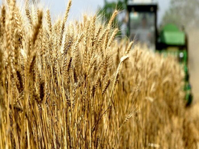 Из-за гибели озимых прогнозы сбора пшеницы снизились еще больше