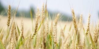 Эксперт: снижение прогнозов мирового сбора зерна и урожая в РФ привели к росту цен на зерно