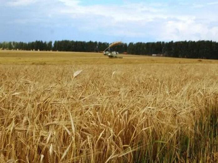 Тульская область ожидает снижения урожая зерновых и картофеля из-за засушливой погоды