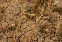 Из-за сухой и жаркой погоды аграрии Тюменской области соберут меньше урожая
