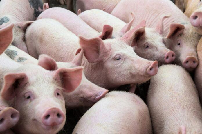 Производители свинины РФ повысили цены на свиней